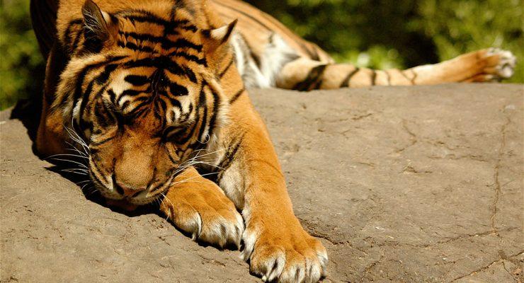 Tigres con FlickrCC