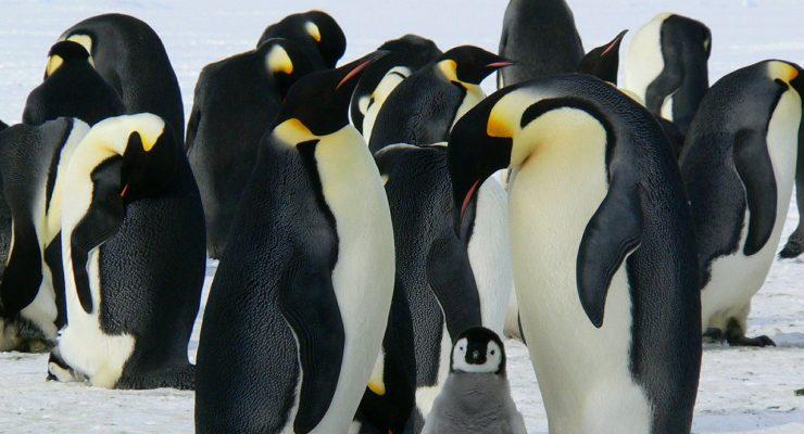 Pingüinos, símbolo del sistema operativo Linux
