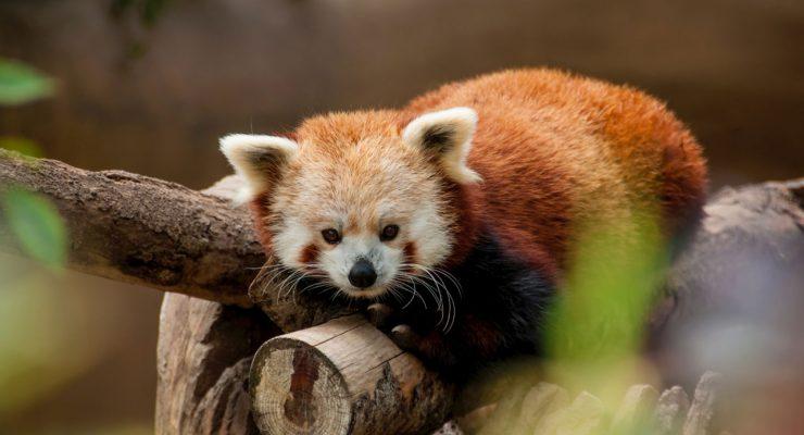 Panda rojo, animal que inspira el logotipo del navegador Firefox