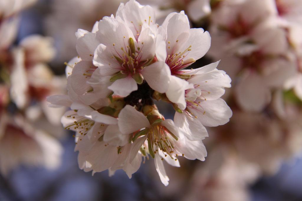 Flor de almendro, entre Estadilla y Fonz, Huesca, 14-III-2009