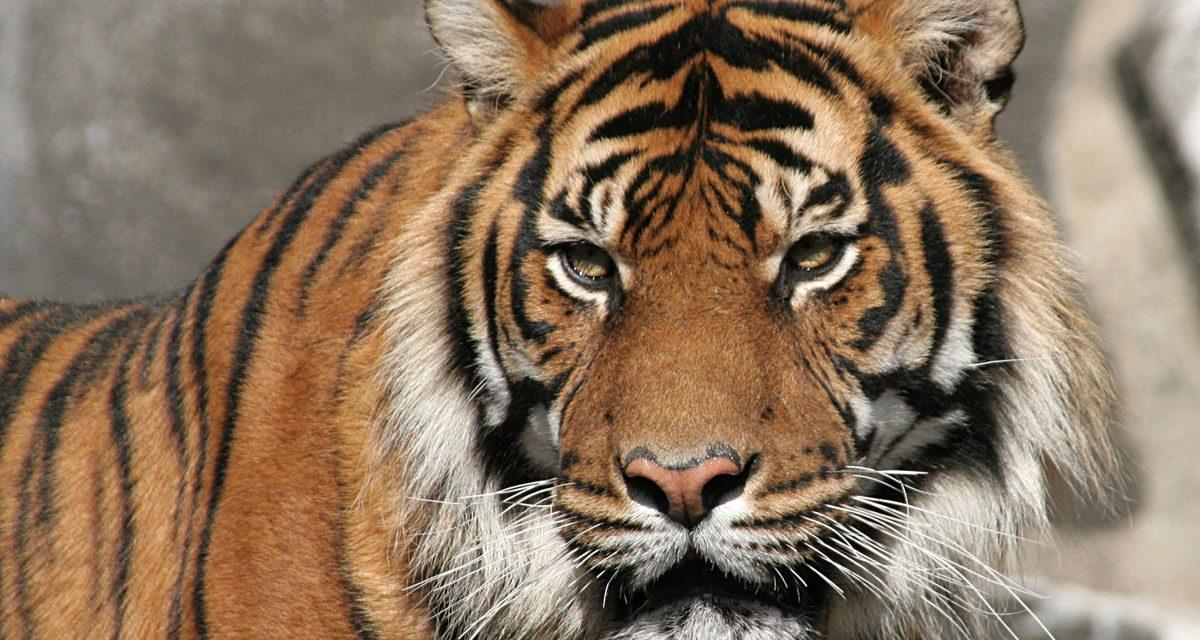 Fotos de Flickr con licencia CC, YubNub y tigres siberianos