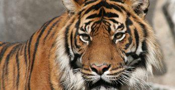 Siberian Tiger (M Kuhn, Flickr)