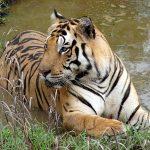 Tigre en el Parque Nacional Kanha