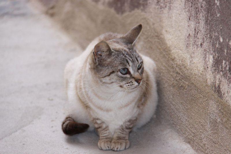 Gato turiasonense 1