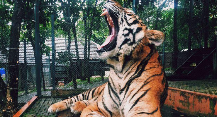Rugido de tigre