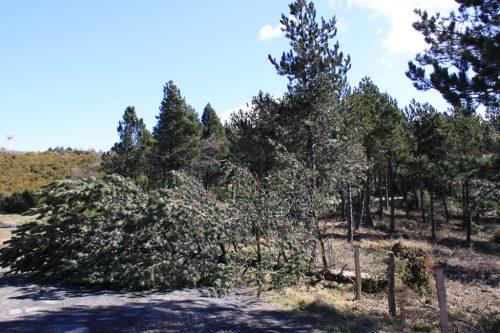 Un pino, derribado por la tormenta, bloquea la carretera