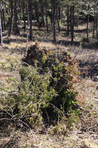 El tocón del árbol desarraigado por la tormenta