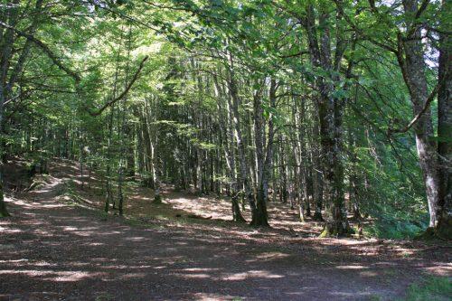 Caminos sombreados en el bosque de hayas