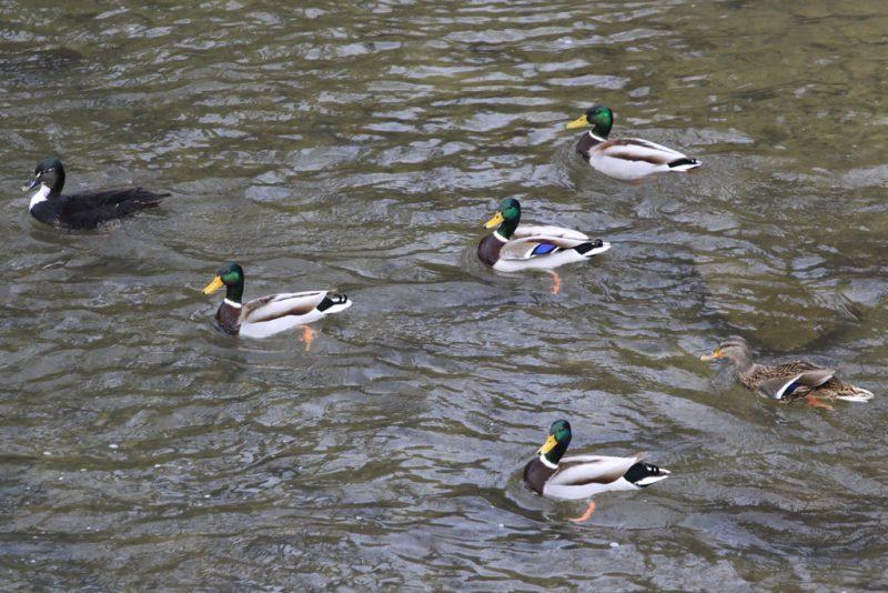 Ánades reales en el río Arga