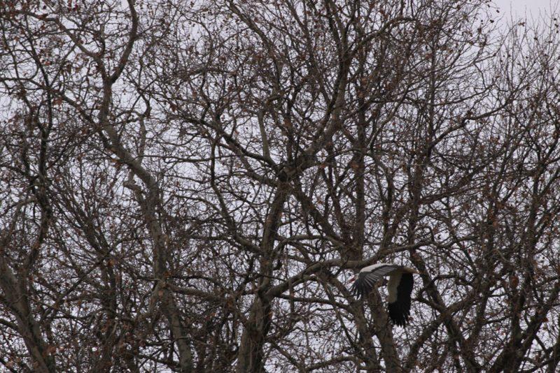 Una cigueña sobre el bosque de ribera de la Vuelta de Aranzadi
