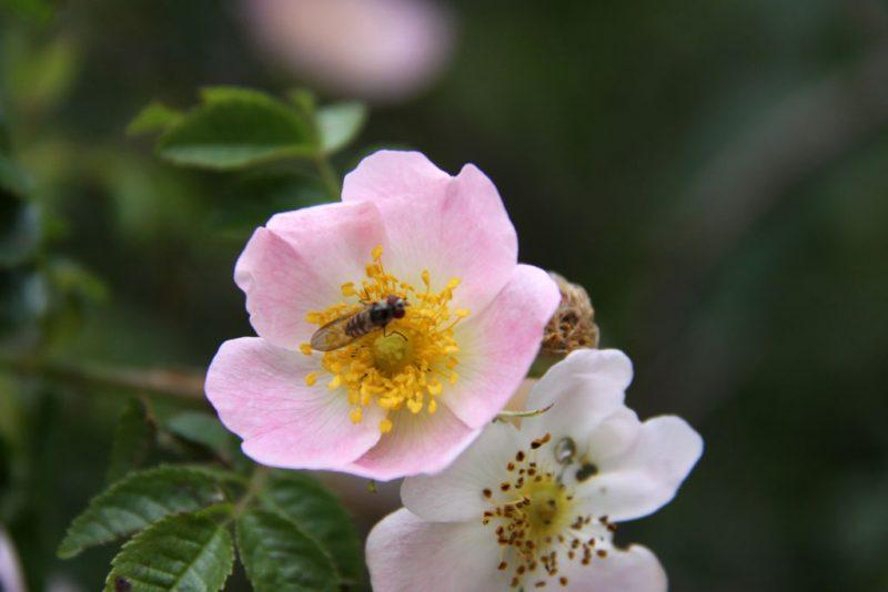 Flor de escaramujo y habitante alado