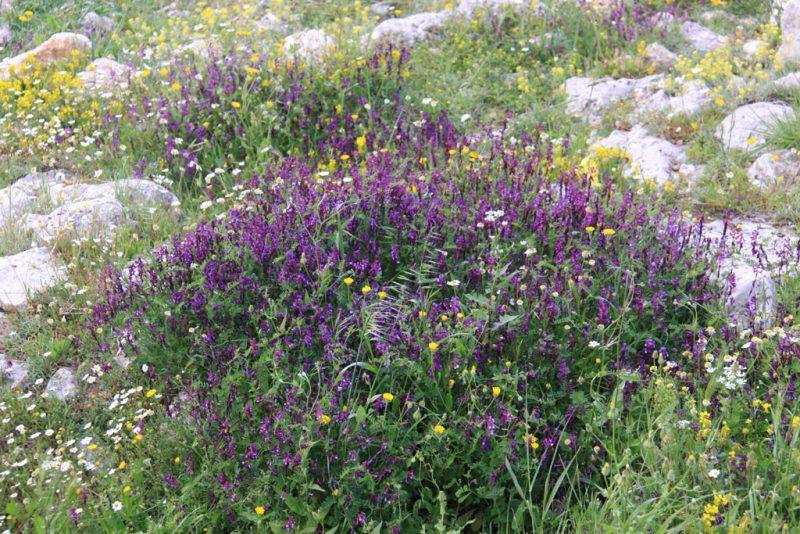 Flores primaverales en la Acrópolis de Micenas