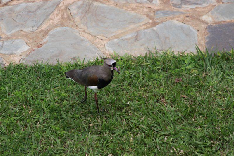 Tero común (Vanellus chilensis) en el jardín del Hotel Sheraton