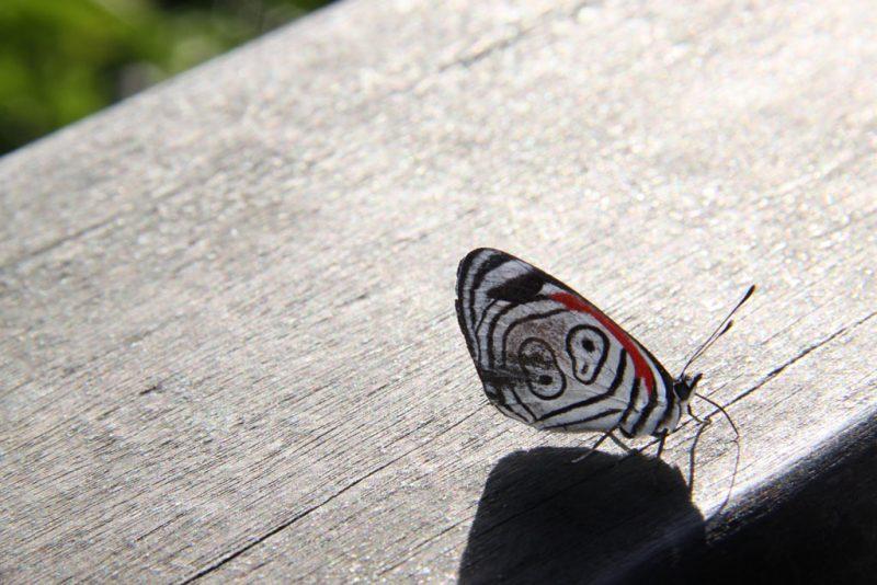 Mariposa ochenta y ocho (Diaethria clymena), así llamada por las manchas de sus alas