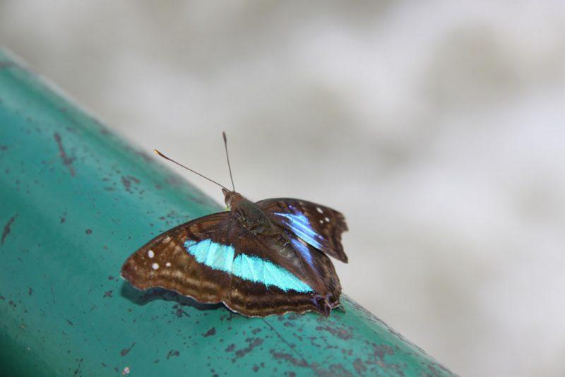 Una mariposa zafiro (Doxocopa laurentia)