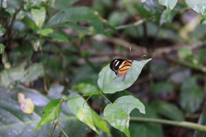 Mariposa alas de tigre (Mechanitis lysimnia) en el sendero Macuco