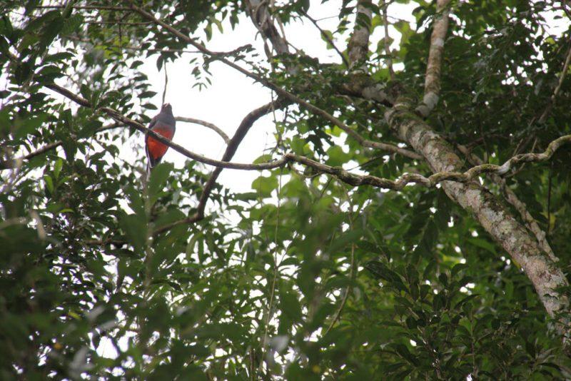 Una hembra de surucuá común (Trogon surrucura), entre la floresta del sendero Macuco