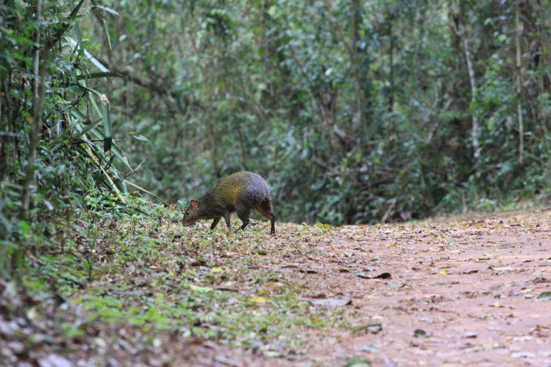 Un agutí de Azara (Dasyprocta azarae), en el sendero Macuco 2