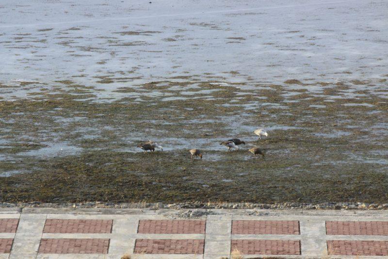 Cauquenes comunes y reales en Bahía Redonda del Lago Argentino, en El Calafate