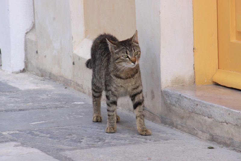 Gato en Oía 2