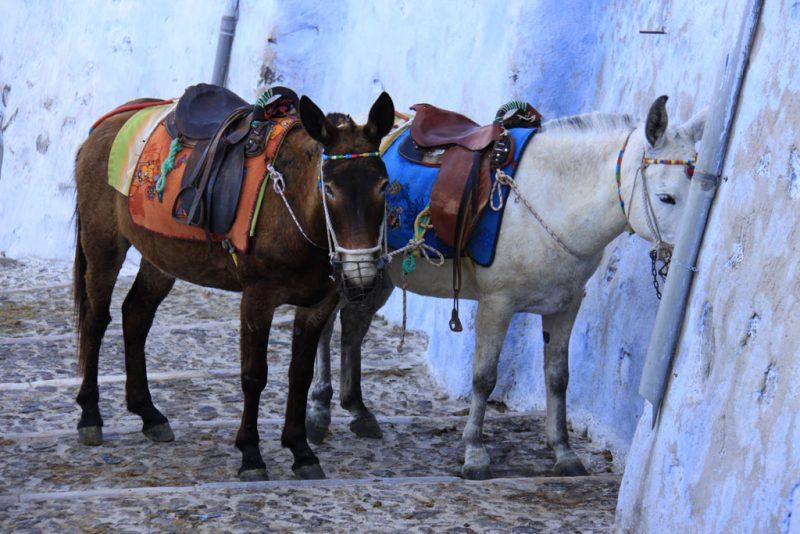 Los típicos burros o mulos de Santorini, en la bajada al puerto de Skalá Firón